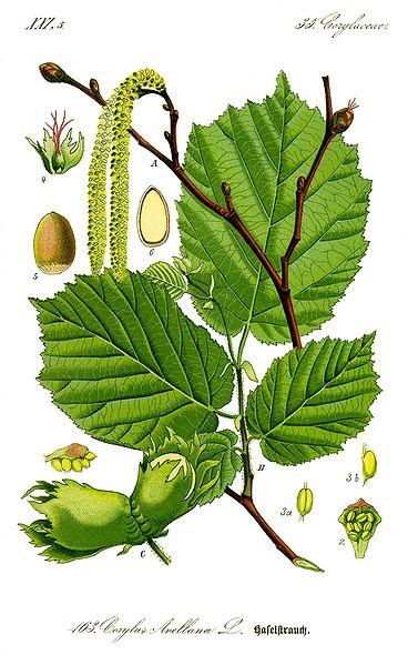 Remèdes celtiques - Page 6 368px-Illustration_Corylus_avellana0_clean