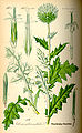Illustration Echinops sphaerocephalus0.jpg