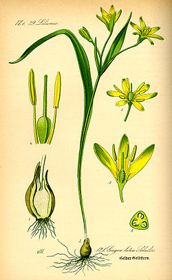 Illustration Gagea lutea0.jpg
