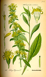 Illustration Solidago virgaurea0.jpg