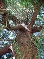 Impressive evergreen tree - geograph.org.uk - 722916.jpg