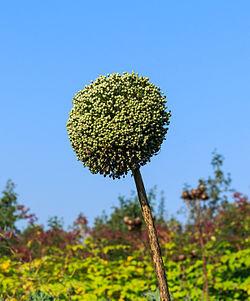 In zaad geschoten prei. (Allium ampeloprasum). Locatie, De Kruidhof Buitenpost 03.jpg