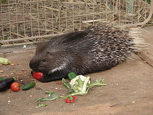 Indian crested porcupine - A captive H. indica eating plant material