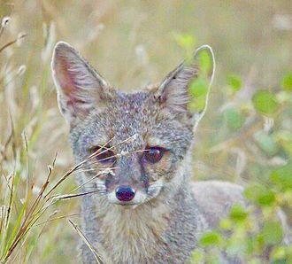Bengal fox - Bengal fox at Rajkot