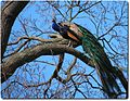 Indian Peafowl (Peacock) in a Tree.jpg