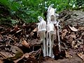 Indian Pipe - Flickr - treegrow (6).jpg