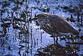 Indian Pond Heron (Ardeola grayii) (20215278270).jpg
