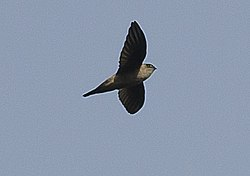 Indian Swiftlet in Thattekad, Kerala, India (cropped).jpg