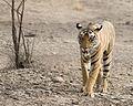 Indian Tiger2.jpg