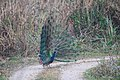 Indian peafowl at Chitwan National Park (3).jpg