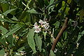 Indigofera ammoxylum flowers 01.JPG