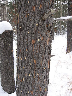 300px Infested tree  British Columbia Embracing Pine Beetle Crisis as Source of Green Energy