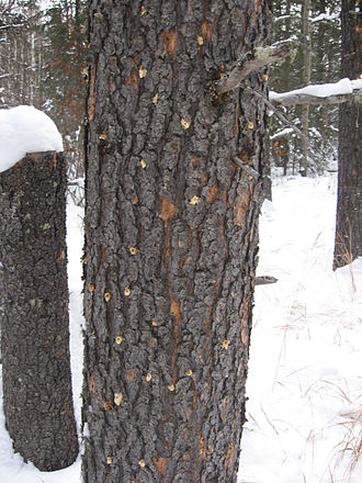 Mountain pine beetle - Image: Infested tree