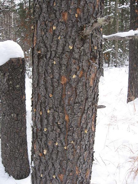 File:Infested tree.jpg