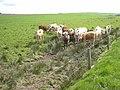 Inquisitive bullocks at Hillock O'Leys - geograph.org.uk - 820239.jpg