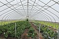 Interior of a Hoop House on the Farm at Saint Joe's, Superior Township, Michigan.JPG