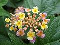 Invasive plant yet beautiful Latana Camara.JPG
