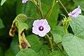 Ipomoea Flower 1024.jpg
