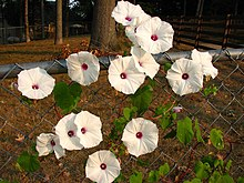 Ipomoea pandurata on fence.jpg