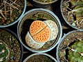 "Iran-qom-Cactus-The greenhouse of the thorn world گلخانه کاکتوس ""دنیای خار"" در روستای مبارک آباد قم- ایران 33.jpg"
