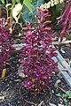 Iresine herbstii in Jardin botanique de la Charme.jpg
