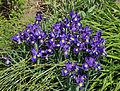 Iris Latifolia R04.jpg