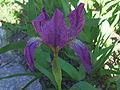Iris aphylla a1.jpg
