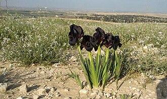 Iris atrofusca - I. atrofusca on Beer Sheva trail in Israel