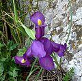 Iris xiphium - Flickr - gailhampshire (1).jpg