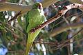 Israel. Rose-ringed Parakeet (6497645413).jpg