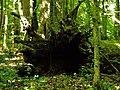 Izvala hrasta u Posebnom rezervatu šumske vegetacije Prašnik na području općine Stara Gradiška.jpg