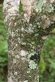 Jacaranda mimosifolia 20zz.jpg