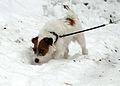 Jack Russel in snow.jpg