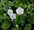 Jacquemontia sandwicensis (5188181000).jpg