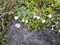 Jan Mayen - Blütenpflanzen zwischen wucherndem Moos.png