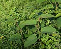 Japanese Knotweed (Reynoutria japonica) - Oslo, Norway 2020-08-15.jpg
