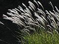Japanese pampas grass ススキPB080107.jpg