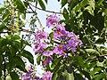 Jarul flowers Lagerstroemia speciosa DSCN8774 (5).jpg