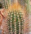 Jasminocereus galapagensis 2.jpg