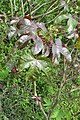 Jatropha gossypiifolia - Bellyache Bush - at Beechanahalli 2014 (9).jpg