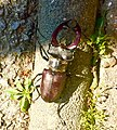 Jelenak- sve rjeđa životinja hrastovih šuma.jpg