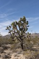 Joshua Trees dot the desert in the Mojave National Preserve in California LCCN2013631108.tif