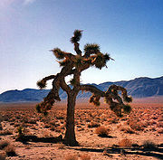 The Joshua tree that was featured throughout the album artwork is located in the Mojave Desert near Darwin, California