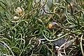 Juncus effusus Spiralis 6zz.jpg