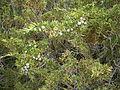 Juniperus sabina 01.JPG