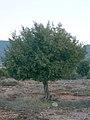 Juniperus thurifera L.jpg