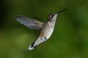 Ruby-throated hummingbird - Juvenile male ruby-throated hummingbird hovering