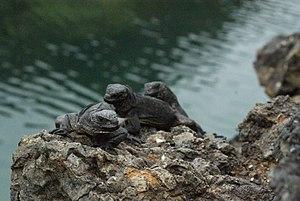Marine iguana - Juvenile marine iguanas on Isabela Island
