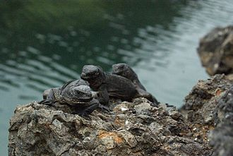 Marine iguana - Juveniles on Isabela Island