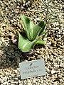 Kalanchoe tetraphylla - Botanischer Garten München-Nymphenburg - DSC08100.JPG